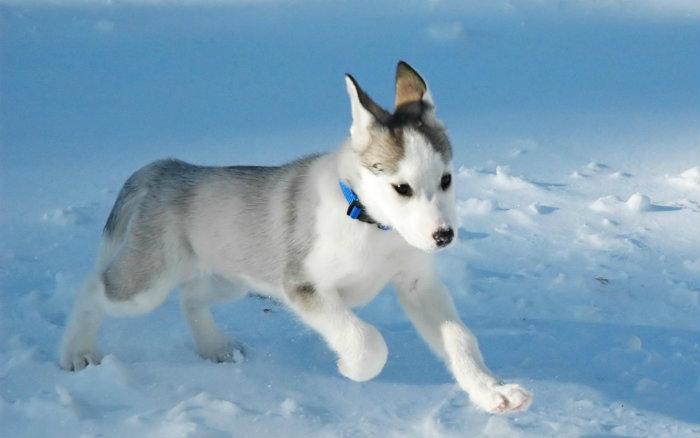 esquimo-canadense