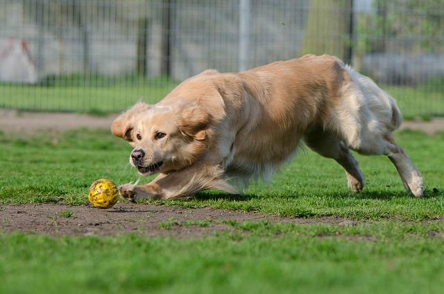 golden-retriever-brincando