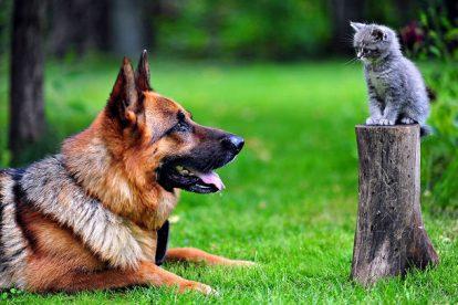 pastor alemão gato