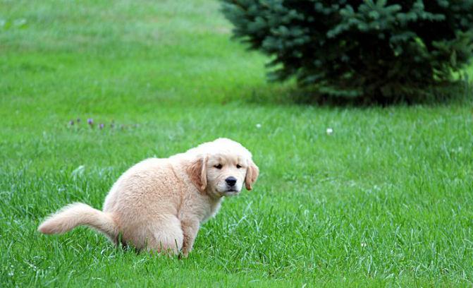 cachorro-fazendo-xixi-e-coco-local-correto