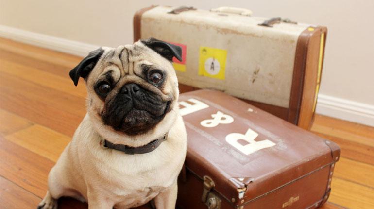 pug com mala para viagem