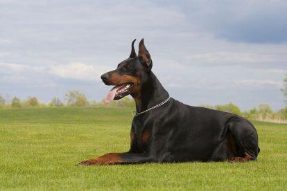 doberman cão de guarda