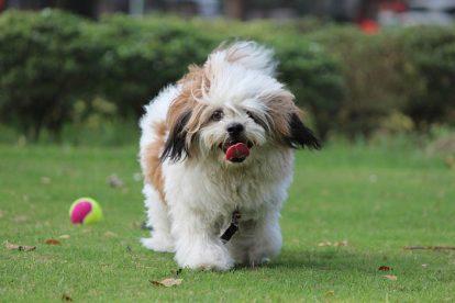 Lhasa Apso brincando com bola