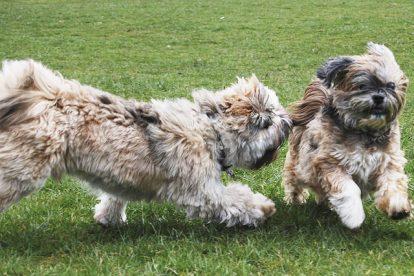Lhasa Apso cachorros