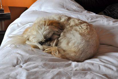 Lhasa Apso dormindo