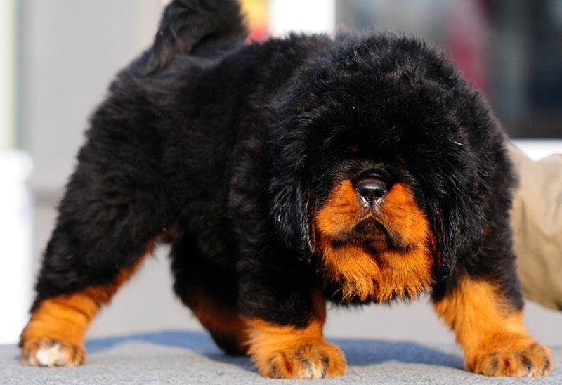 maiores-raças-de-cachorros-do-mundo-1