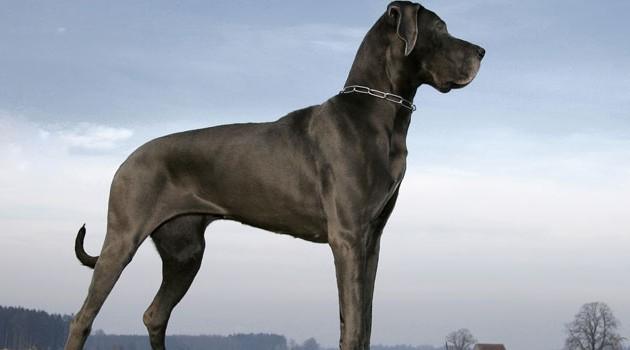 maiores-raças-de-cachorros-do-mundo-2