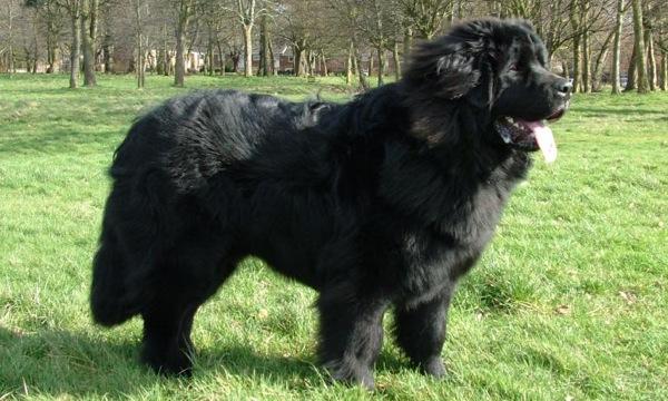 maiores-raças-de-cachorros-do-mundo-5