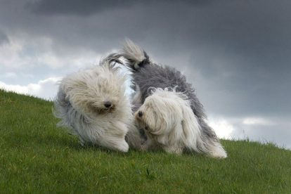 Old English Sheepdog brincando