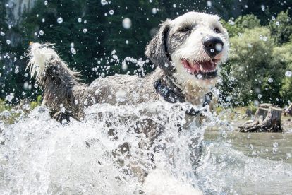 Old English Sheepdog brincando na água