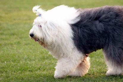 Old English Sheepdog fêmea