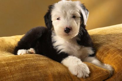Old English Sheepdog filhote