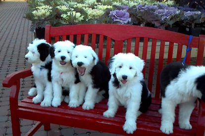 Old English Sheepdog filhotes