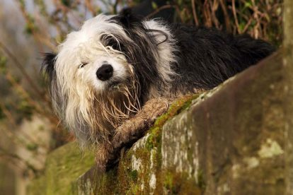 Old English Sheepdog grande