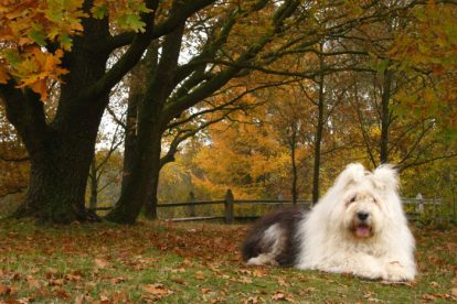 Old English Sheepdog no parque