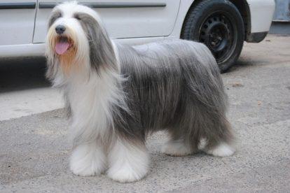 Old English Sheepdog penteado