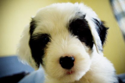 Old English Sheepdog preto e branco