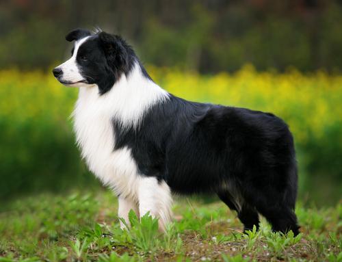 raças-de-cães-mais-inteligentes-do-mundo-11