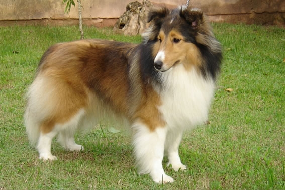 As 10 Raças De Cães Mais Inteligentes Do Mundo Melhoramigodog