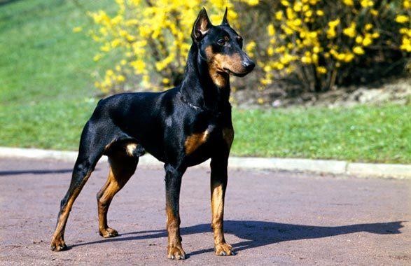 raças-de-cães-mais-inteligentes-do-mundo-7