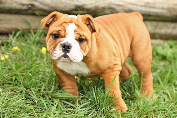 raças-de-cachorros-que-possuem-problemas-respiratorios-1