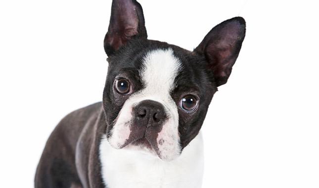 raças-de-cachorros-que-possuem-problemas-respiratorios-4