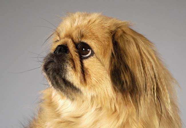 raças-de-cachorros-que-possuem-problemas-respiratorios-5