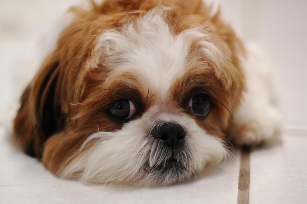 raças-de-cachorros-que-possuem-problemas-respiratorios-7