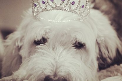 Rainha Old English Sheepdog