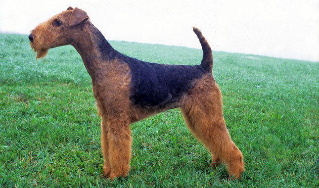 airedale-terrier-2
