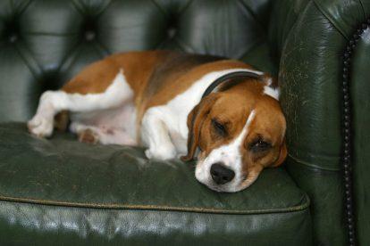Beagle deitado no sofá