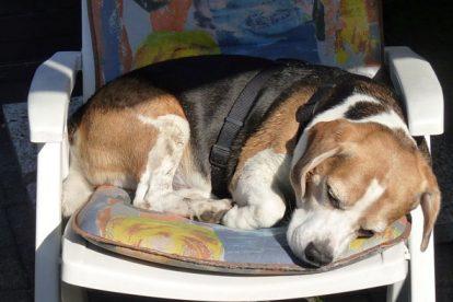 Beagle dormindo na cadeira