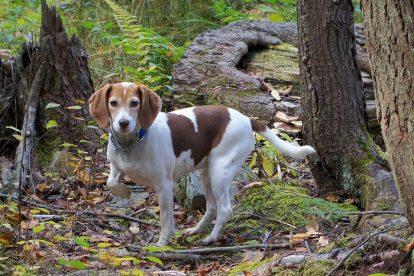 Beagle na floresta