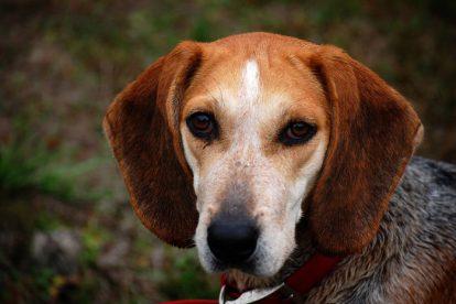 Beagle fotografia