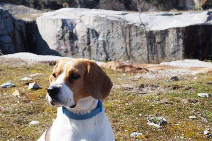 Beagle paisagem