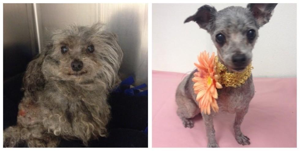cachorros-antes-e-depois-de-adotados-2