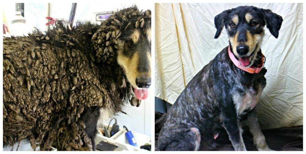 cachorros-antes-e-depois-de-adotados-3