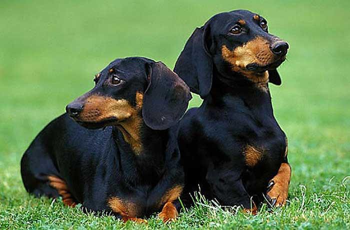 cachorros-de-pequeno-porte-3