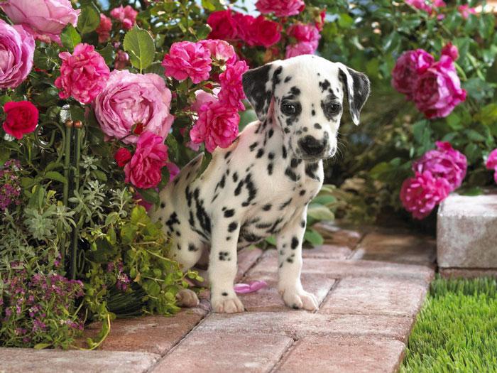 Filhote de Dálmata jardim de flores