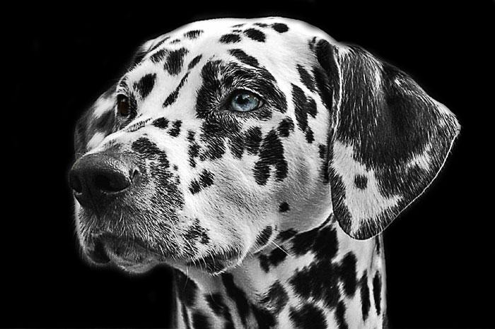 Dálmata de olhos azuis