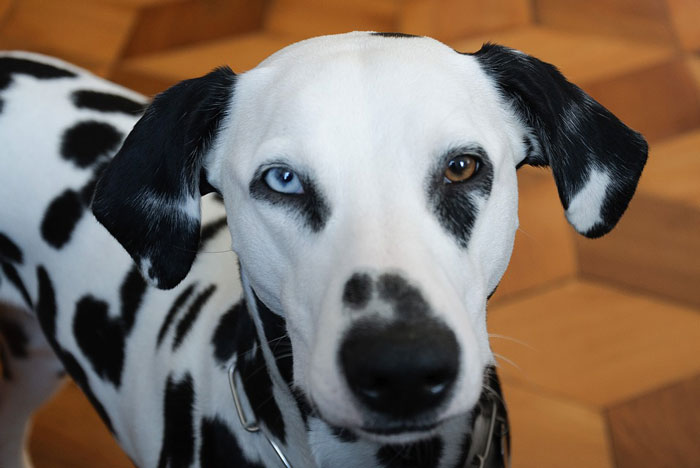 Dálmata com olhos de duas cores