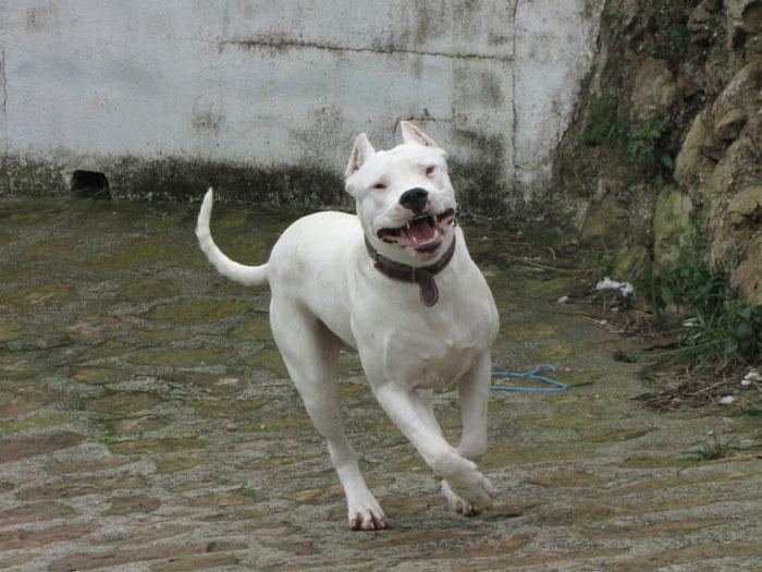 Dogo Argentino correndo