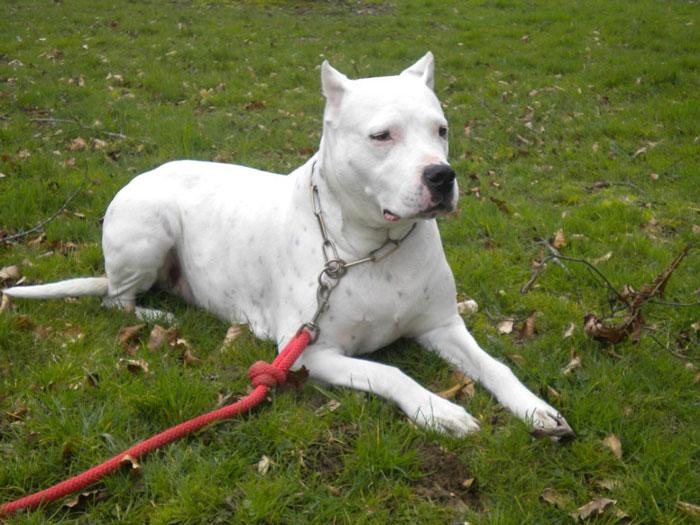 Dogo Argentino deitado na grama