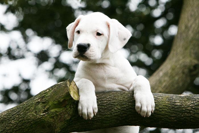 Dogo Argentino filhote