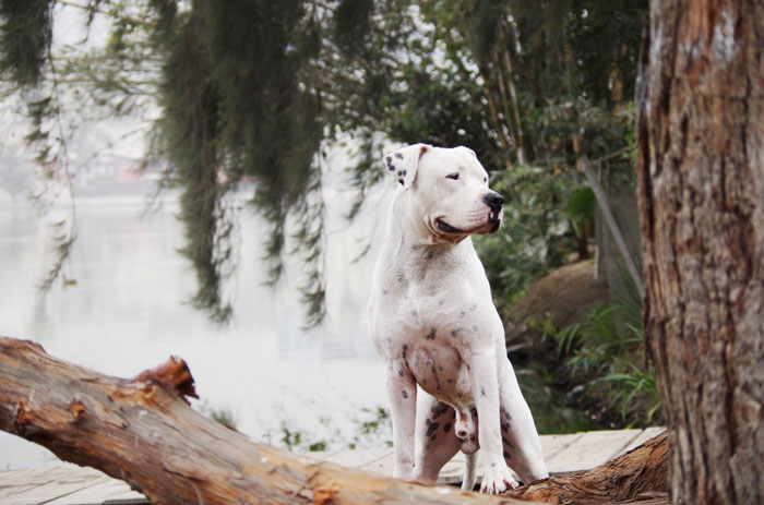Dogo Argentino foto