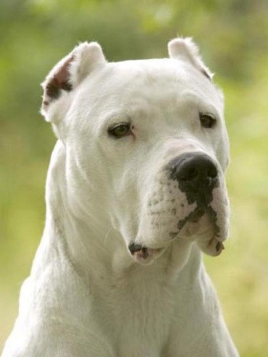 Dogo Argentino orelha cortada