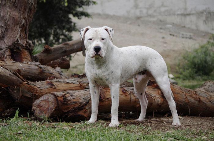 Dogo Argentino raça