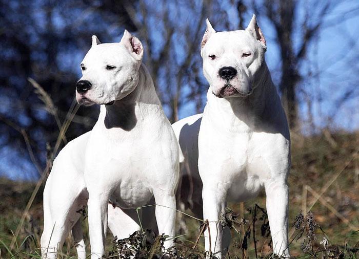 Dois Dogos Argentinos