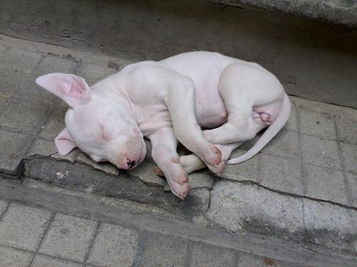 Filhote Dogo Argentino dormindo