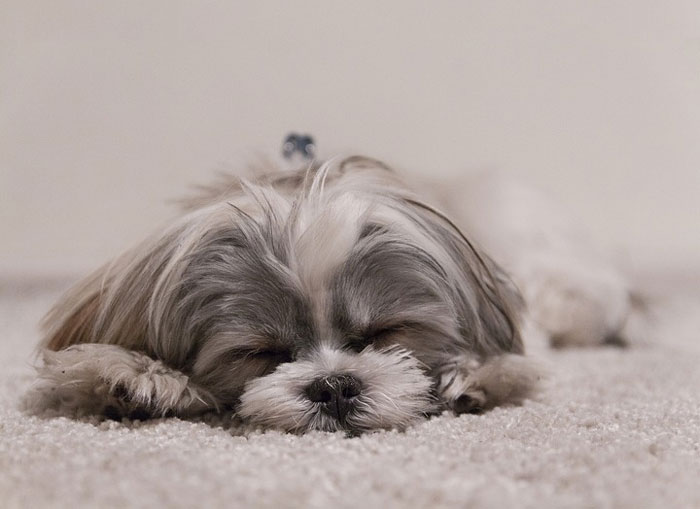 Shih Tzu dormindo
